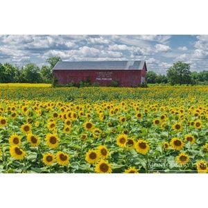 Sunflower Field Print